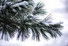 december-pine0553