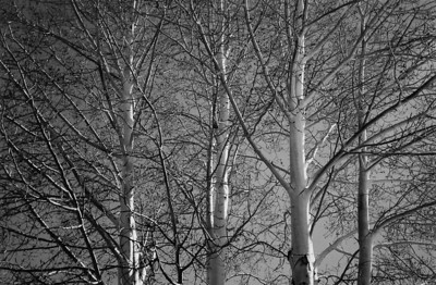 Aspens  Santa Fe, New Mexico