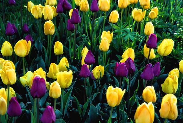 (J014) Tulip Garden