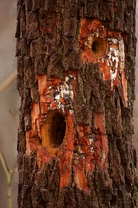 Woodpecker Holes