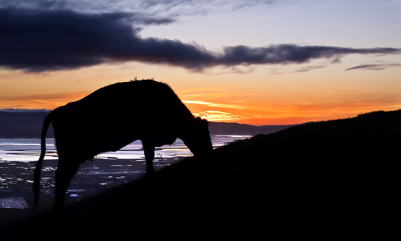 About three quarters of the way up to Mission Peak's summit I saw this cow grazing against the sunset. I was making pretty good time and was trying to better my last time, but I had to stop to take a few photos.