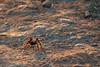 Mission Peak Tarantula