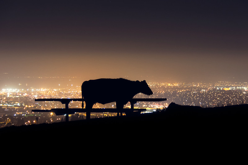 A cow is taking in the views of the East Bay from the picnic bench at the base of the peak.