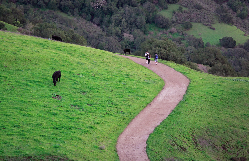 Hikers weave their way past grazing cows.