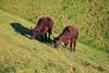 Mission Peak Cows