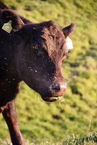 Cow Sneeze!