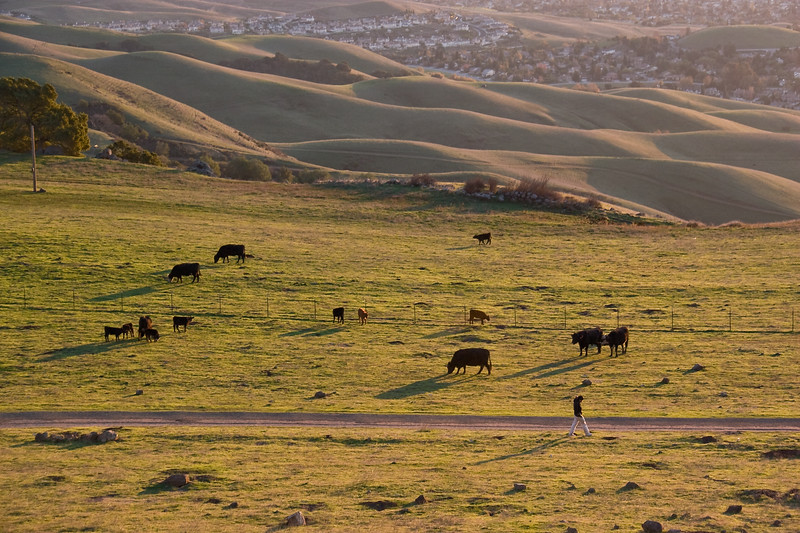 Hiker walks past a family of grazing cows.