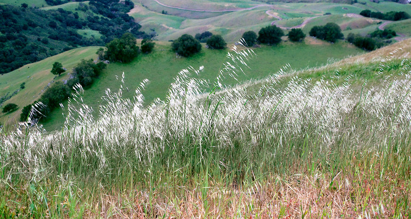 A patch of tall grass blows in the wind on Mission Peak's summit.