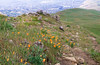 California poppies are in full bloom on Mission Peak's summit.