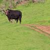 Mission Peak Bull
