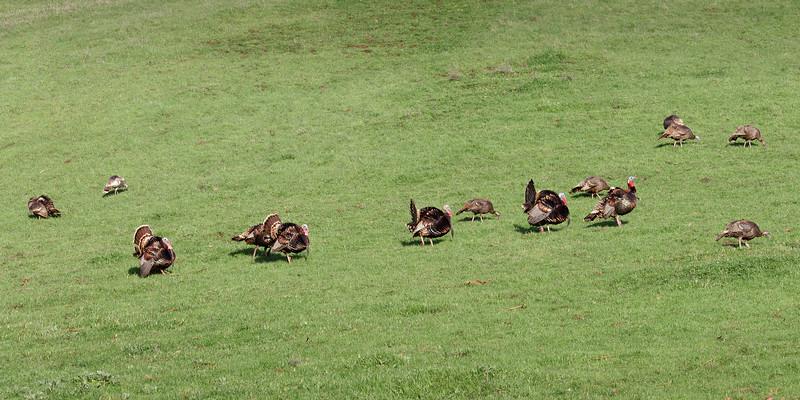 Mission Peak Turkeys