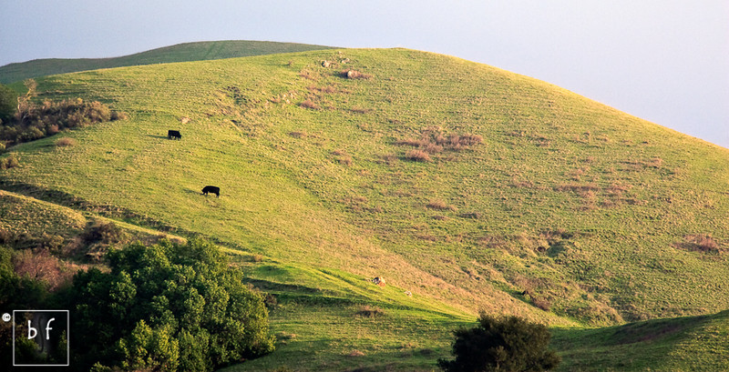 Two cows above Peak Meadow Trail.