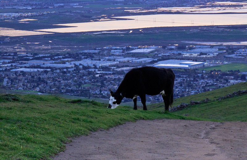 This cow looked a little spooky as I passed it on my way down from Mission Peak.