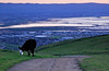 Grazing cow with glowing eyes at sunset.