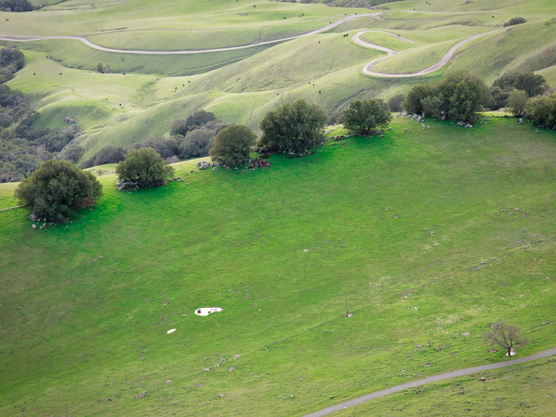 Mission Peak is very green at this time of the year. Cows happily graze in the background.