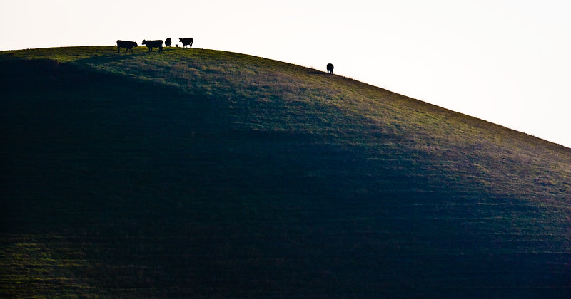 Cows on a hill.