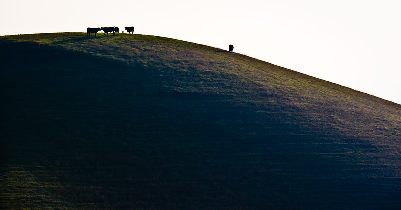 Cows kissing on a hill.