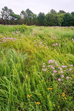 Purple Flowers at Wilson's Creek National Battlefield