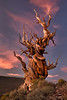 Bristlecone pine-in White Mountains, not Miter Basin