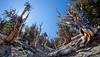Bristlecone gulch-in White Mountains, not Miter Basin