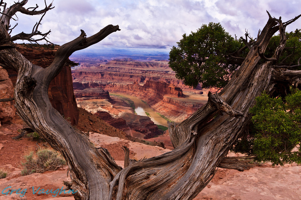 Juniper tree at overlook in Dead Horse Point State Park, Utah.