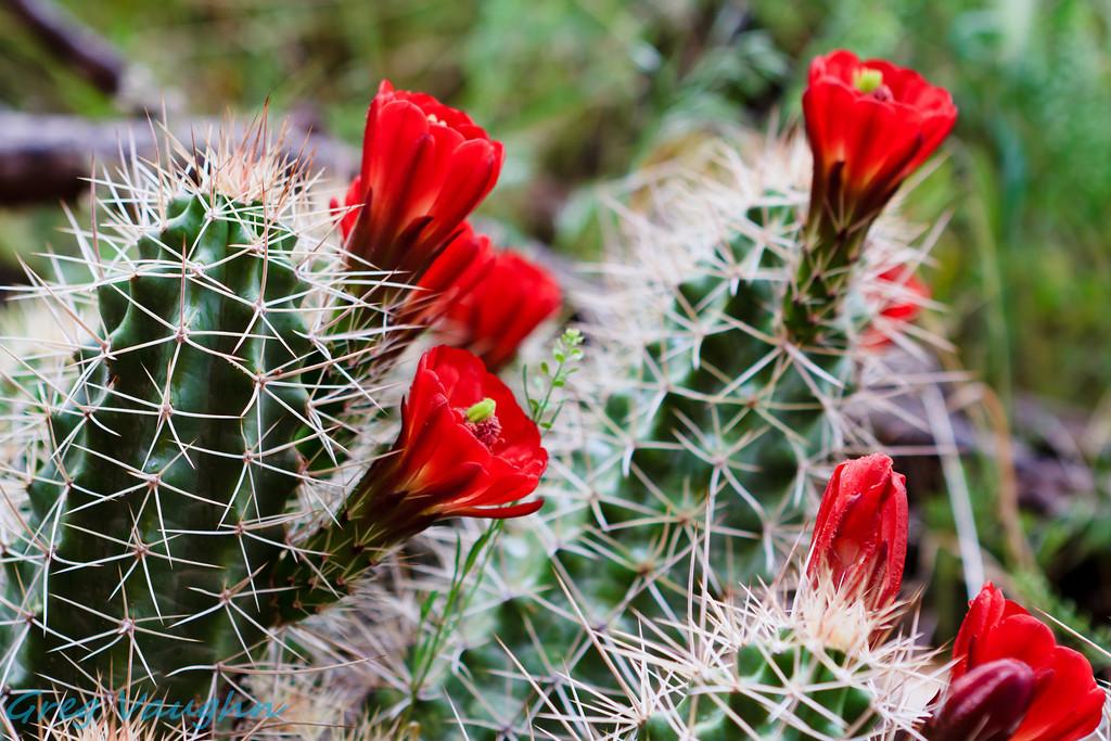 Cactus Flowers seen in Moab, Utah