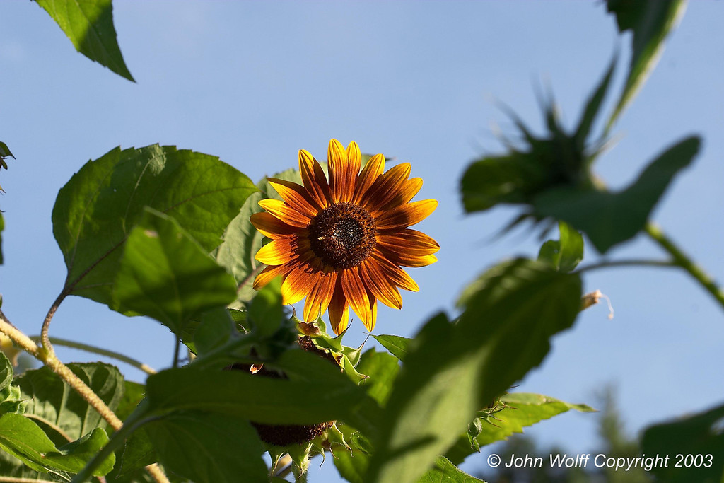 <b> Orange and yellow Sunflower from formal gardens </b>