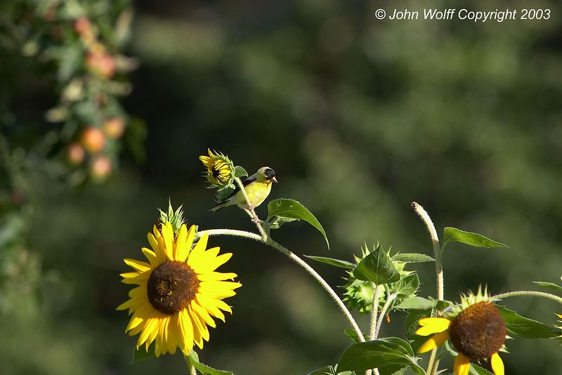 <b> Yellow Finch on Sunflower in formal gardens </b>