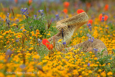 Mojave Green Rattlesnake North America's most deadliest snake in the Western Edge of the Mojave Desert.  How do you take a manly wildflower photo? Hit the shutter once you're laying on your stomach and a Mojave Green pops up out of the bed of flowers and scares the crap out of you! This was my first rattle snake sighting besides seeing them cross the road all the time while driving in the desert! Luckily I shot in burst mode the moment I... saw it and a few more frames after I jumped back. I didn't know they were so mean and puff up to make themselves look bigger.  They have two kinds of toxins, a common rattlesnake hemo toxin which causes red cell, tissue and organ damage and a neuro toxin which cause paralysis in it's victims. They are Sagebrush green, short and fat but seemed to change color slightly to the surroundings from experience.  I get the hardest time from some of my good non photographer friends because I'm shooting wildflowers here and there so I'll have to show them this one.   These Mojave Greens (proper name mojave rattlesnake) were discovered in the Antelope Valley, California in the early 70's. Having grown up and living in the western mojave, for a portion of my life we were always told not to play with lizards because snakes chase them.  We caught a lot of lizards but 20 years later a snake chasing lizard crosses my path.  I can't say that the snake was aggressive but it never backed away from, it stood it's ground until I left.  Rattlesnakes have defensive and aggressive strikes, in a defensive strike you may find yourself lucky if it doesn't have the chance to release all of it's venomous toxins.  If provoked it's more likely to release much more or all of it's toxins and strike multiple times.  It was a low angle greeting I will never forget!
