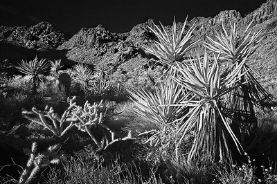 Mojave Yucca, Infrared Mojave Nature Preserve