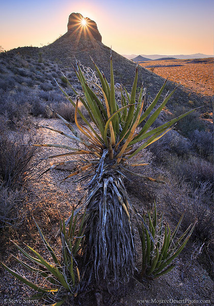 Eye of the Mojave Desert shines it's beam of light on a mojave yucca. This rare occurance only happens a few days each year.  Composing before this light changed was the hardest part of getting this shot. I had to run from this yucca to that joshua tree to the next yucca until I was fast enough to compose a shot before the light had changed. Never really had literally chase the light before shooting at this location! It really brings new meaning to chasing the light. It was like an ant chasing a magnifying glass's beam trying to get burned!! Can't wait for the next rare light occurrence to happen here again! I'll be ready for it!!  The American Deserts still have many secrets we don't all know about!! You won't find this in the guide books!  www.MojaveDesertPhoto.com