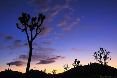 Joshua Tree silhouettes at sunrise in the Mojave Nature Preserve, California.