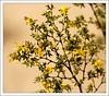 Creosote bush in bloom.