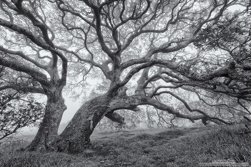 Oak Lightning