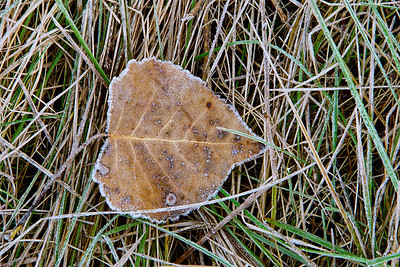 "A frosty cottonwood leaf.  *For information on purchasing prints and canvas gallery wraps, click the ""Purchasing"" tab at the top of the page. If viewing on your mobile device, scroll to the bottom of the page and click the ""Full Site"" tab to view as if you were on your home PC and then go to the ""Purchase"" tab to for purchasing info. In mobile mode, you will not see the standard navigation bar with the ""Purchase"" tab."