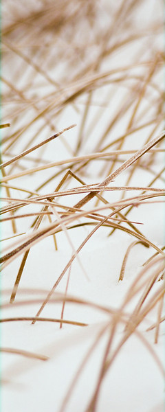 "Beach grass in the snow.  *For information on purchasing prints and canvas gallery wraps, click the ""Purchasing"" tab at the top of the page. If viewing on your mobile device, scroll to the bottom of the page and click the ""Full Site"" tab to view as if you were on your home PC and then go to the ""Purchase"" tab to for purchasing info. In mobile mode, you will not see the standard navigation bar with the ""Purchase"" tab."