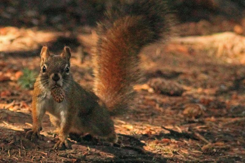 A squirrel taken Sep 23, 2010 near Bozeman, MT.