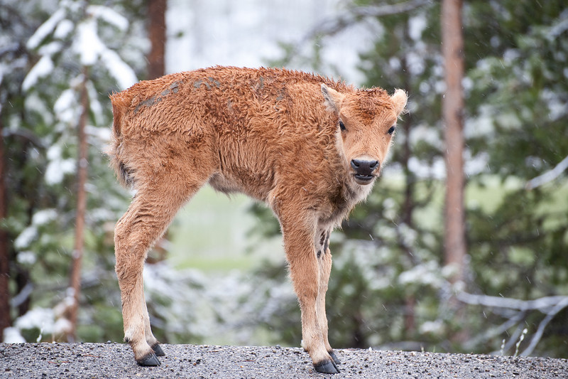Month old bison calf. When weaned at six months males will weigh 425 pounds.