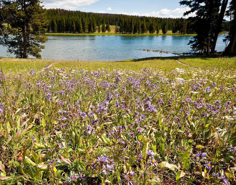 Wildflowers and the Yellowstone River, Hayden Valley