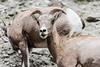 Bighorn Sheep, Mammoth cliffs