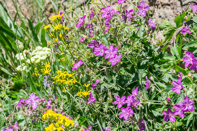 Mt. Washburn wildflowers