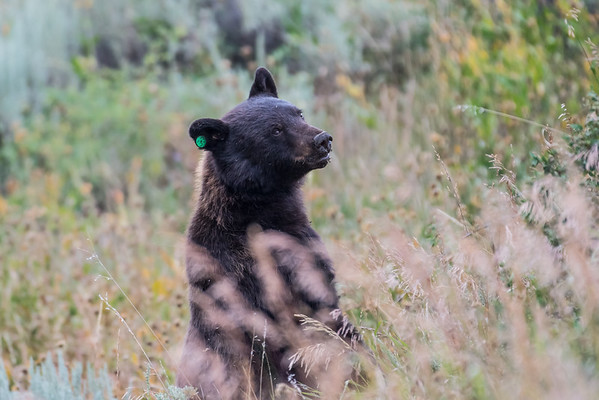 Black bear #33 looking to cross the Mt. Washburn Road