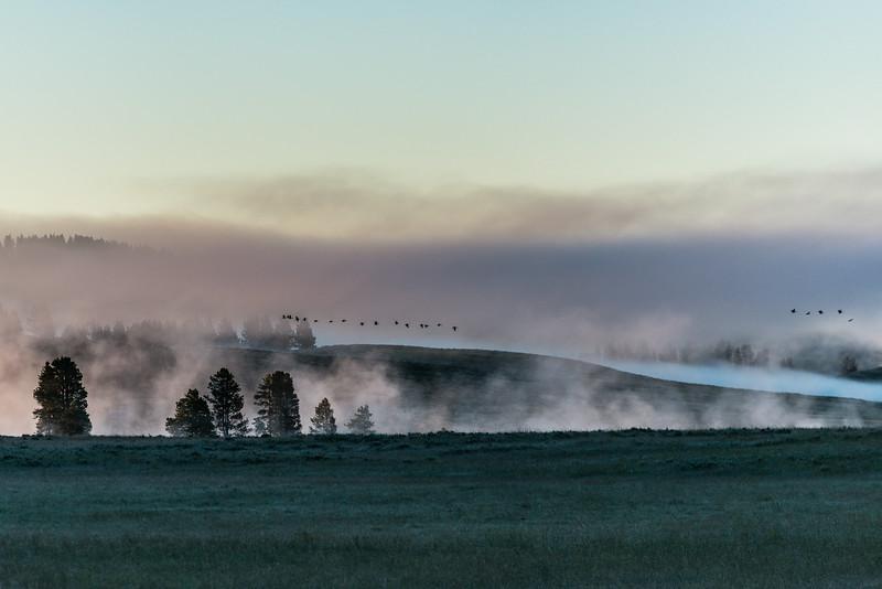 Canada geese early morning flight, Hayden Valley