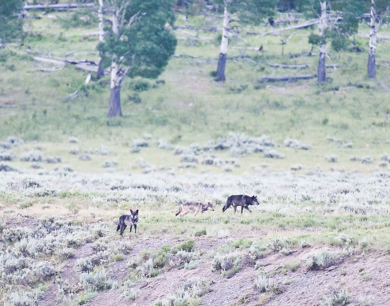 The Lamar Canyon wolf pack, alpha male in the lead