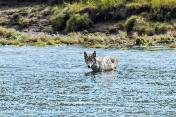 cooling off in the Yellowstone River