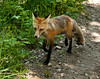 A red fox trots up the trail to the second meadows of Slough Creek