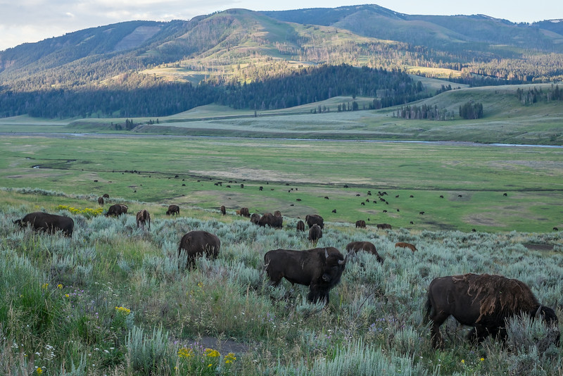 bison herd in the Lamar Valley