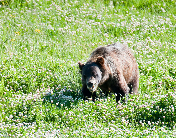Grizzly bear, Lamar Valley