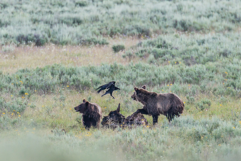 grizzlies and raven