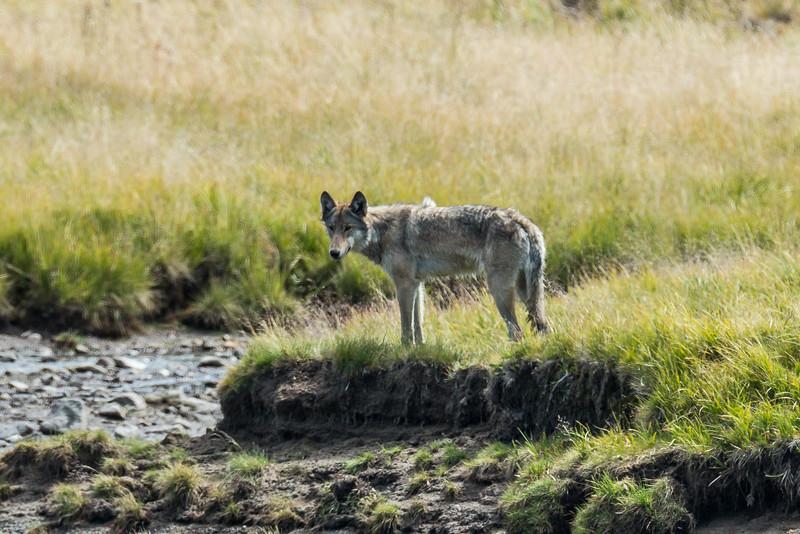 Wolf in the Hayden Valley